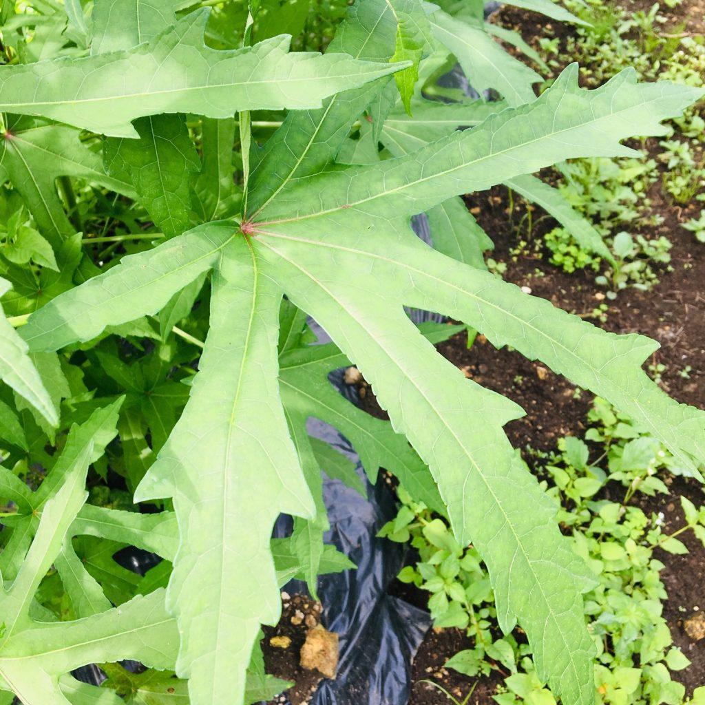 トロロアオイの葉っぱ