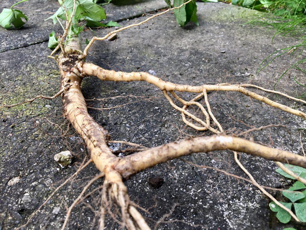 トロロアオイの根